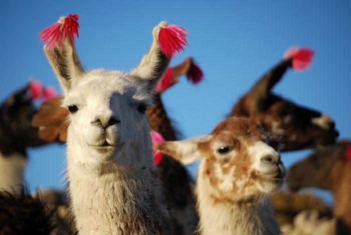 Llama Nursery Decor Trend Llamas with Pom Poms